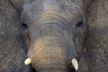 African Elephant (Loxodonta africana), Kruger National Park, South Africa  -  David Tatin/ Biosphoto