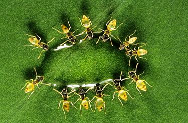 Ghost Ant (Tapinoma melanocephalum) group arranged in a group feeding on a droplet of nectar, Nicaragua  -  Olivier Digoit/ Biosphoto