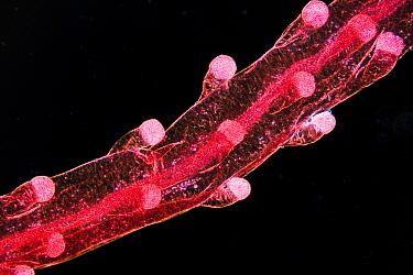Blue Button (Porpita porpita) tentacle through microscope  -  Christian Gautier/ Biosphoto