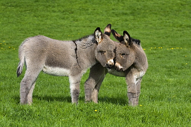 Ane du Cotentin Donkey (Equus asinus) juveniles sniffing each other, France  -  Klein and Hubert