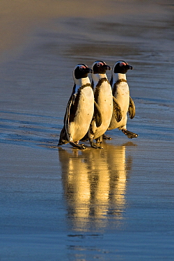 Black-footed Penguin (Spheniscus demersus) trio walking on beach, South Africa  -  Klein and Hubert