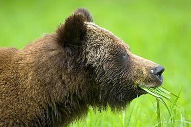 Grizzly Bear (Ursus arctos horribilis) eating grass, Khutzeymateen Grizzly Bear Sanctuary, British Columbia, Canada  -  Christian Meyer Pierre Huguet/ B