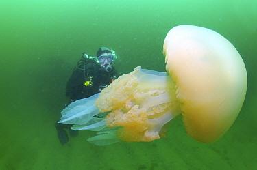 Jellyfish (Catostylus tagi) with diver, Groix Island, France  -  Bruno Guenard/ Biosphoto
