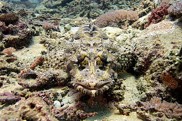 Beaufort's Crocodilefish (Cymbacephalus beauforti) camouflaged on ocean floor, Bali  -  Bruno Guenard/ Biosphoto