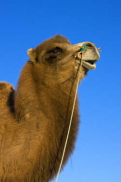 Bactrian Camel (Camelus bactrianus), Altai Mountains, Mongolia  -  Klein and Hubert