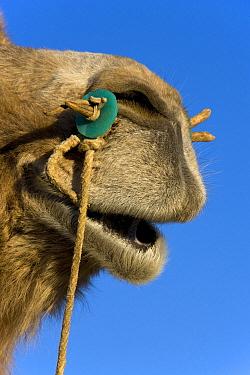 Bactrian Camel (Camelus bactrianus) nose, Altai Mountains, Mongolia  -  Klein and Hubert