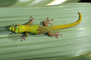 Gold Dust Day Gecko (Phelsuma laticauda) on leaf, Madagascar  -  Dominique Halleux/ Biosphoto
