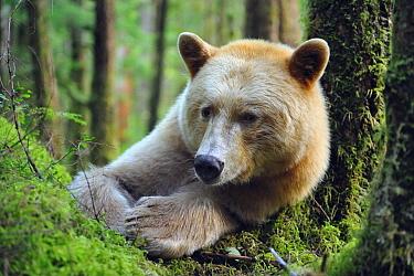 Kermode Bear (Ursus americanus kermodei) lying in wet temperate forest, Princess Royal Island, Great Bear Rainforest, Canada  -  Fabrice Simon/ Biosphoto