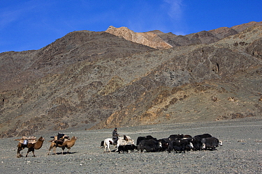 Yak (Bos grunniens) group being herded by nomads with Dromedaries (Camelus dromedarius), Altai Mountains, Mongolia  -  Klein and Hubert