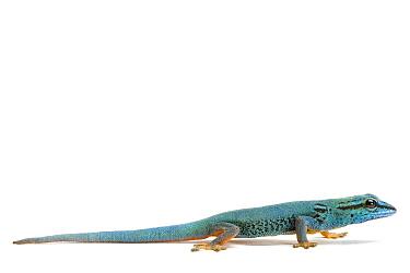 Electric Blue Day Gecko (Lygodactylus williamsi)  -  Michel Gunther/ Biosphoto