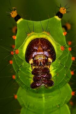 Indian Moon Moth (Actias selene) caterpillar  -  Jacques Roses/ Biosphoto
