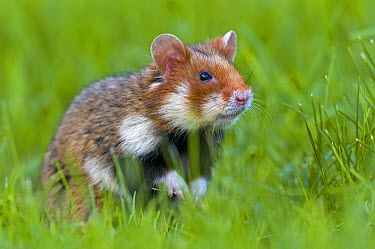 Common Hamster (Cricetus cricetus) in grass, Vienna, Austria  -  Berndt Fischer/ Biosphoto