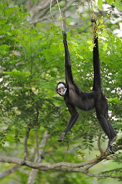 White-whiskered Spider Monkey (Ateles marginatus) hanging from branch using prehensile tail, Brazil  -  Jean-Paul Chatagnon/ Biosphoto