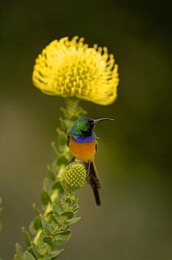 Orange-breasted Sunbird (Nectarinia violacea) male on Pincushion (Leucospermum sp) flower, South Africa  -  Claude Thouvenin/ Biosphoto