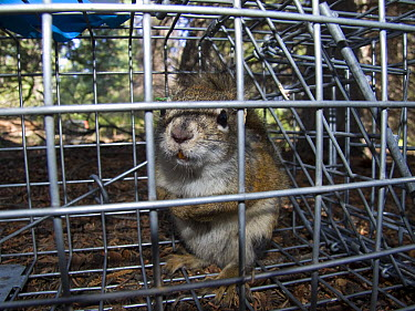 Red Squirrel (Tamiasciurus hudsonicus) caught in a biologist's cage in study of animals' ability to adapt to global warming, Yukon, Canada  -  Philippe Henry/ Biosphoto
