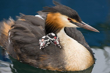 Great Crested Grebe (Podiceps cristatus) swimming with her chicks on her back, Lake Geneva, Europe  -  Olivier Born/ Biosphoto
