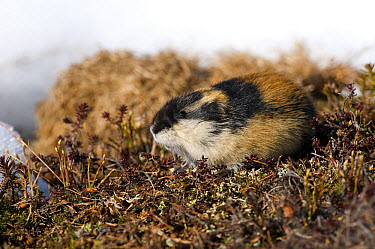 Norway Lemming (Lemmus lemmus) on tundra, Sweden  -  Dominique Halleux/ Biosphoto