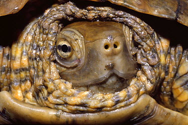 Mediterranean Turtle (Mauremys leprosa) pulled into shell, Garriguella, Spain  -  Antoni Agelet/ Biosphoto