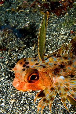 Oriental Flying Gurnard (Dactyloptena orientalis) on sandy ocean floor, Sulawesi, Indonesia  -  Didier Brandelet/ Biosphoto