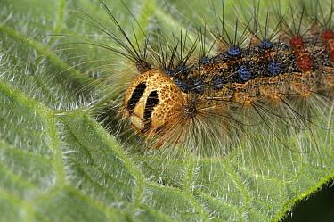 Lackey Moth (Malacosoma neustria) caterpillar, France  -  Jean Venot/ Biosphoto