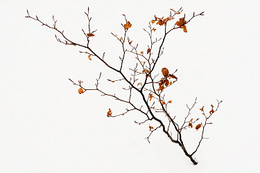 Beech (Fagus sp) in winter, France  -  David Tatin/ Biosphoto