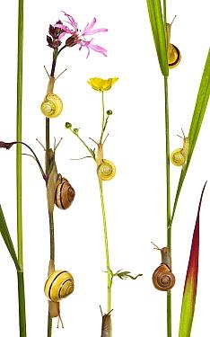 White-lipped Grove Snail (Cepaea hortensis) and Brown Lipped Snail (Cepaea nemoralis) on Meadow Buttercup (Ranunculus acris)  -  Klein and Hubert