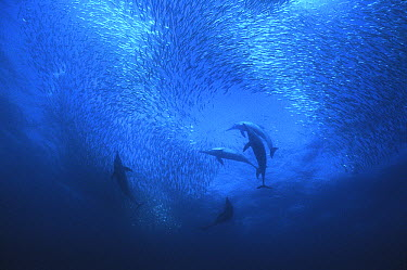 Long-beaked Common Dolphin (Delphinus capensis) hunting cooperatively during a sardine run, South Africa  -  Gerard Soury/ Biosphoto