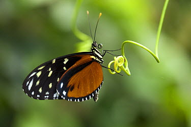 Zebra Butterfly (Heliconius charitonius) on tendril, Hacienda Baru National Wildlife Refuge, Costa Rica  -  Michel & Christine Denis-Huot/ B