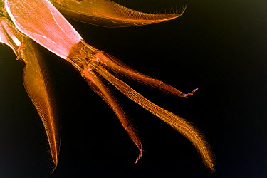 Honey Bee (Apis mellifera) tongue  -  Christian Gautier/ Biosphoto