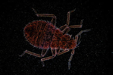 Bed Bug (Cimex lectularius)  -  Christian Gautier/ Biosphoto
