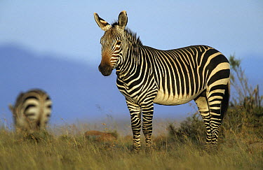 Cape Mountain Zebra (Equus zebra zebra), Mountain Zebra National Park, South Africa  -  Franck Fouquet/ Biosphoto