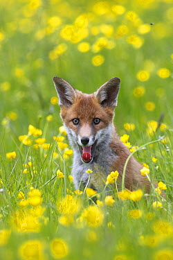 Red Fox (Vulpes vulpes) juvenile sitting in flowering meadow, Great Britain  -  Frederic Desmette/ Biosphoto