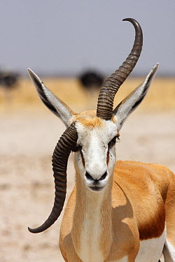Springbok (Antidorcas marsupialis) male with deformed horn, Etosha National Park, Namibia  -  Jean-Jacques Alcalay/ Biosphoto