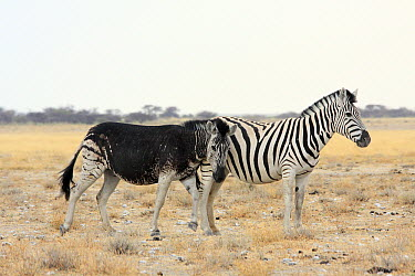 Burchell's Zebra (Equus burchellii) melanistic individual rubbing against another, Namibia  -  Jean-Jacques Alcalay/ Biosphoto