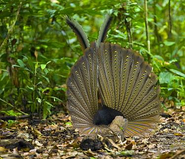 Great Argus Pheasant (Argusianus argus) male displaying, Danum Valley, Borneo, Malaysia  -  Juan-Carlos Munoz/ Biosphoto