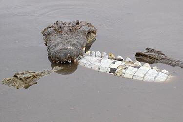 Nile Crocodile (Crocodylus niloticus) cannibalism, Kruger National Park, South Africa  -  J.-J. Alcalay & B. Marcon/ Biosp