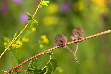 Harvest Mouse (Micromys minutus) pair sitting on a plant stem with tails intertwined for balance, France  -  Klein and Hubert