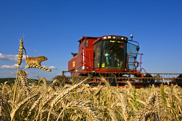 Harvest Mouse (Micromys minutus) in grain field with combine harvester in the background, France  -  Klein and Hubert