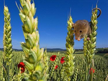 Harvest Mouse (Micromys minutus) male in Two-rowed Barley (Hordeum vulgare) field, France  -  Klein and Hubert