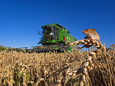 Harvest Mouse (Micromys minutus) in field of wheat with combine harvester, France  -  Klein and Hubert