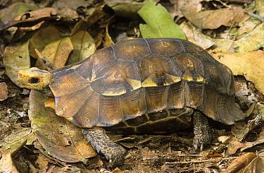 Eroded Hingeback Tortoise (Kinixys erosa) in leaf litter, Minkebe National Park, Gabon  -  Michel Gunther/ Biosphoto
