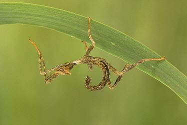 Australian Walking Stick (Extatosoma tiaratum) on leaf, France  -  Joel Heras/ Biosphoto