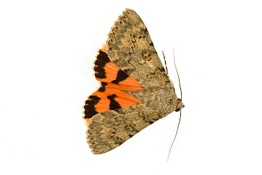 French Red Underwing (Catocala elocata) moth, Europe  -  Michel Gunther/ Biosphoto