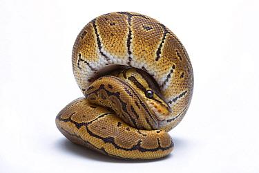 Ball Python (Python regius), native to Africa  -  Michel Gunther/ Biosphoto