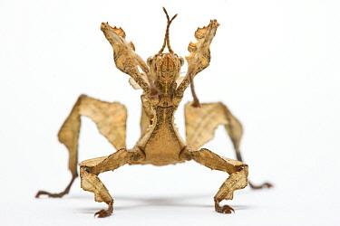 Stick Insect (Extatosoma sp), Paris, France  -  Michel Gunther/ Biosphoto