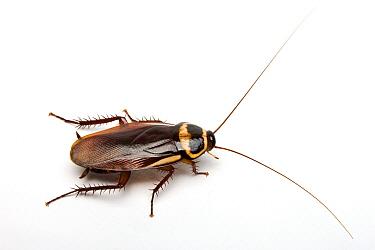 Australian Cockroach (Periplaneta australasiae)  -  Michel Gunther/ Biosphoto