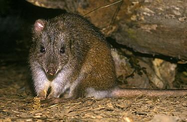 Long-footed Potoroo (Potorous longipes), Victoria, Australia  -  Klein and Hubert