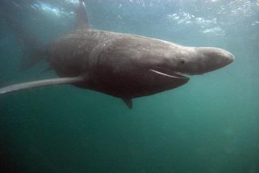 Basking Shark (Cetorhinus maximus), Isle of Man, United Kingdom  -  Gerard Soury/ Biosphoto