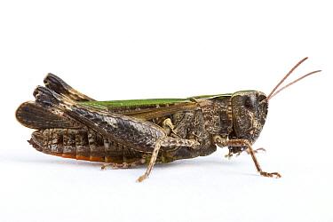 Woodland Grasshopper (Omocestus rufipes)  -  Michel Gunther/ Biosphoto
