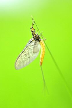 Common Burrower Mayfly (Ephemera sp) female on grass, Touraine, France  -  Bruno Guenard/ Biosphoto